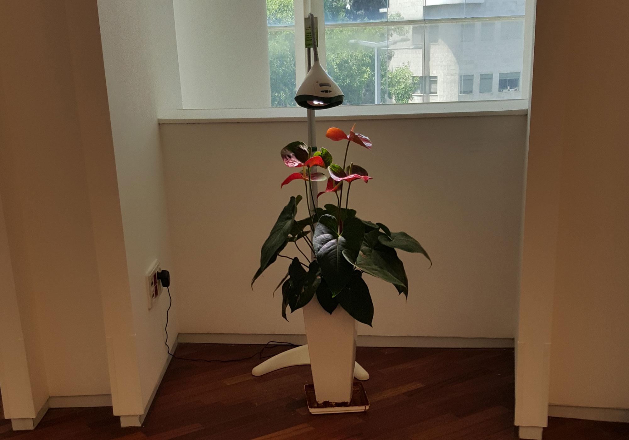 מנורת גדילה