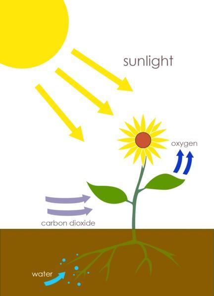 פוטוסינתזה - תאורה לצמחים
